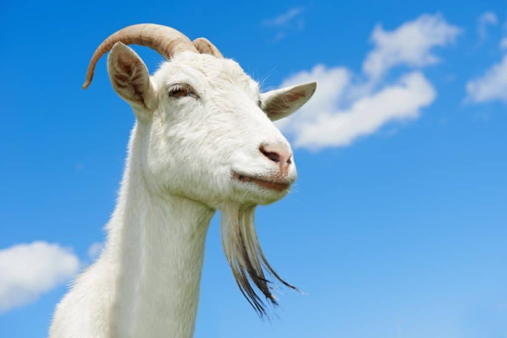 Goat that likes to eat weeds